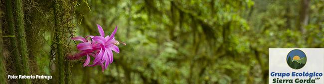 Cactacea rosa